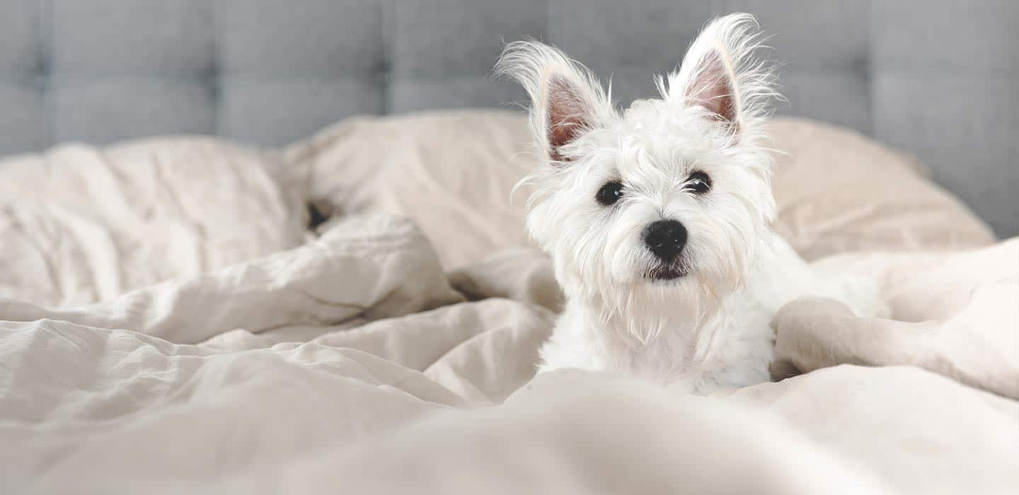 A cute small white dog with a fluffy face and black eyes looks out from a bed. Crown Martin Park Apartments is a pet friendly apartment community.